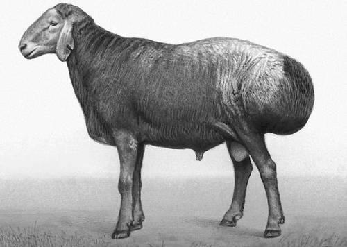 Описание и особенности гиссарской породы овец
