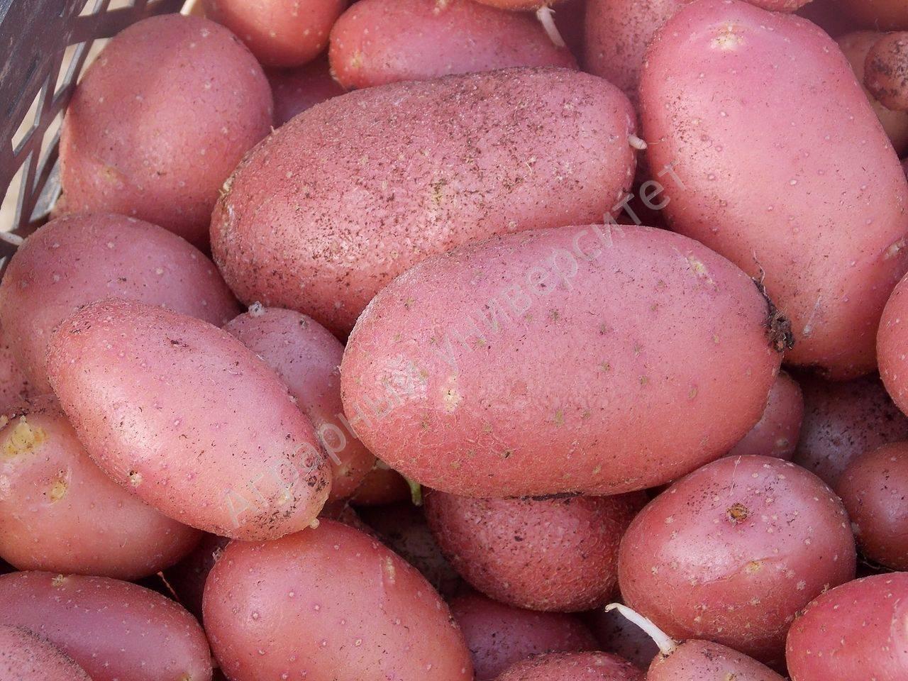 Картофель ред скарлет - характеристика и описание сорта, особенности выращивания