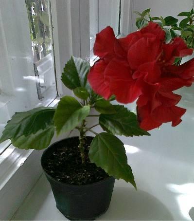 Уход за китайской розой в домашних условиях.
