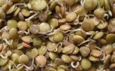 Как выращивать горох в открытом грунте? уход за посевами гороха