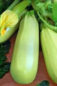 Кабачок «грибовский 37»: описание сорта с фото, как выращивать