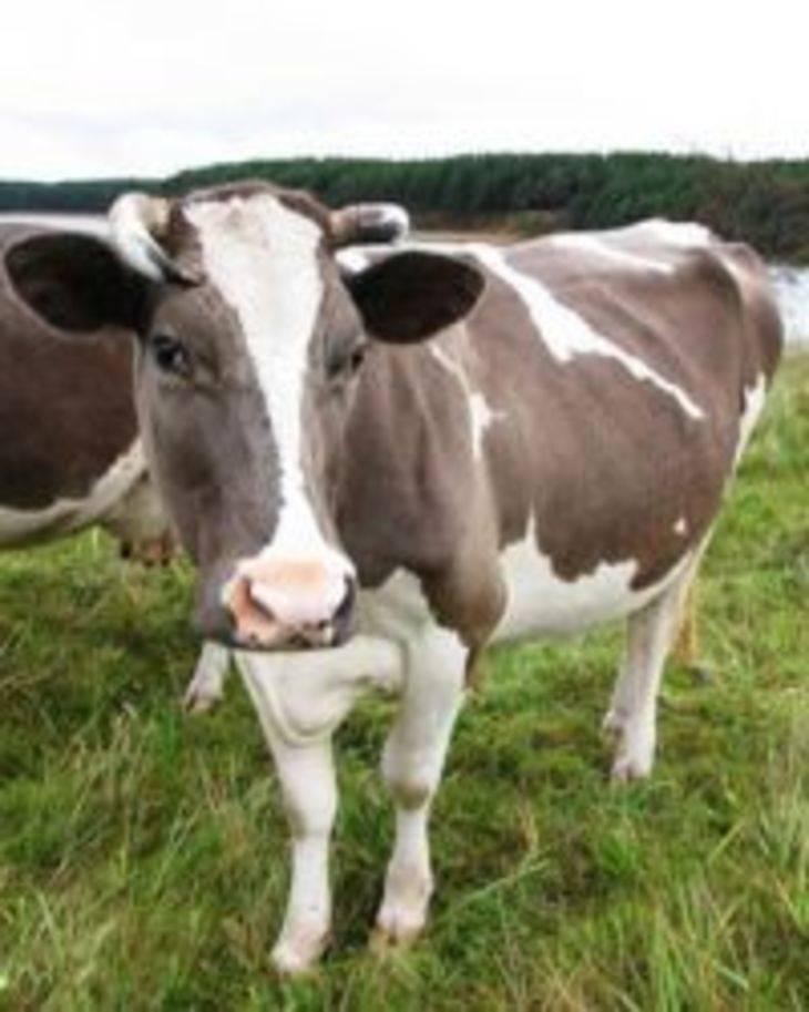 Коровы (49 фото): сколько у них желудков? уход за выменем и копытами дойной коровы. как они выглядят? как спят коровы?