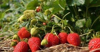 Клубника лизонька f1: описание сорта, способы и правила выращивания крупноплодной земляники, характеристика ягод, отзывы