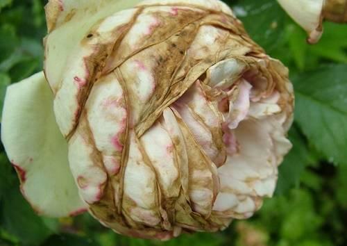 Возможные причины опадания бутонов у орхидеи