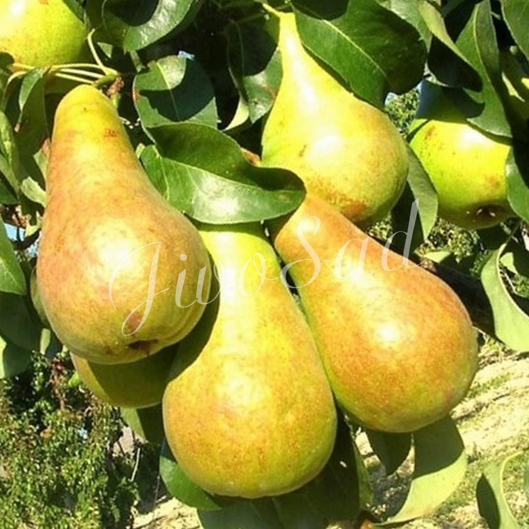 Груша бере боск – один из лучших поздних сортов. груши берта, описание вкуса которых напоминает дыни