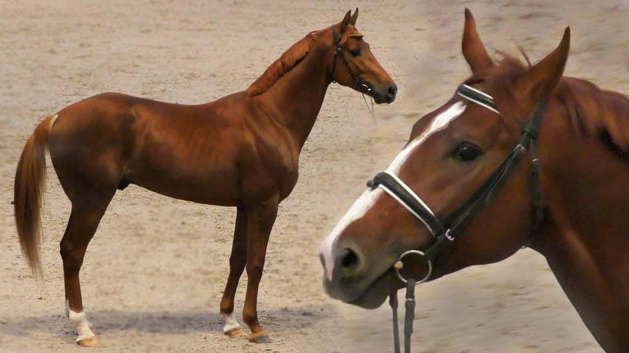 Буденновская порода лошадей (стр. 1 из 5)