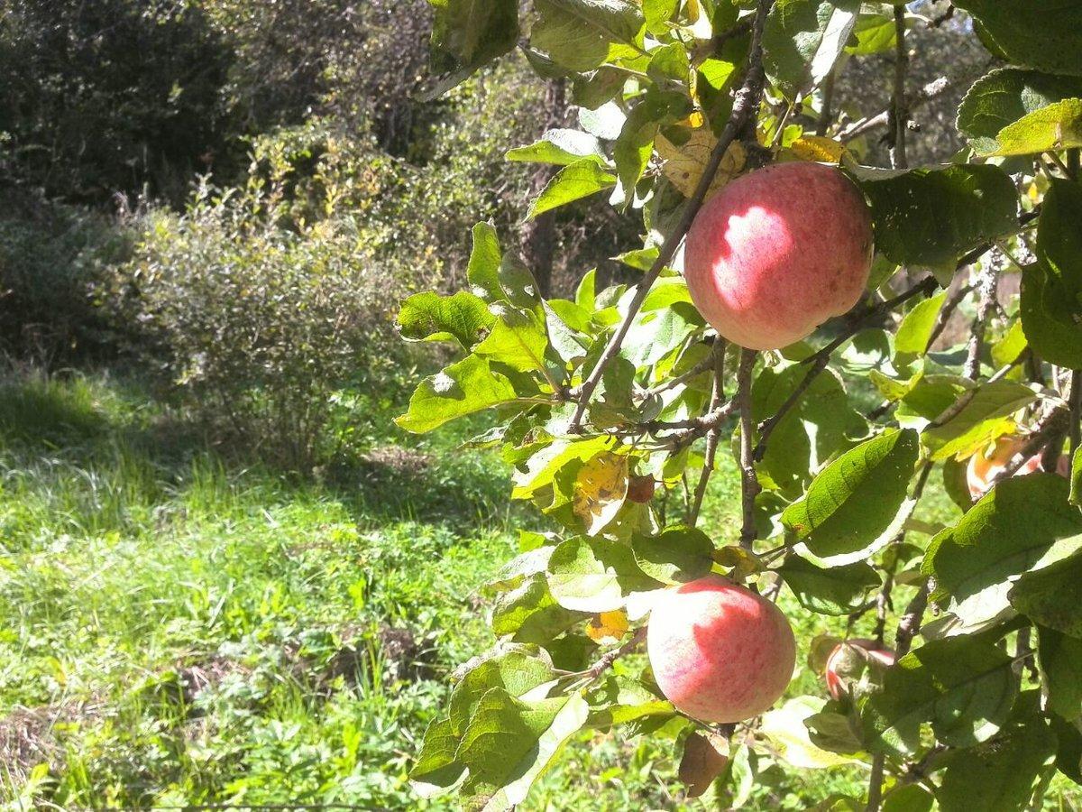 Дупло в яблоне — причины и методы лечения