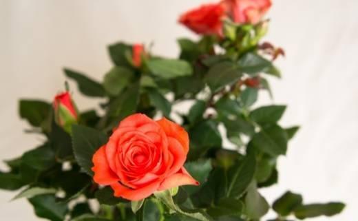 Описание розы кордана и ее сортов. уход в домашних условиях после покупки