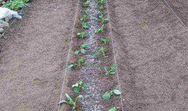 Где сажать белокочанную капусту