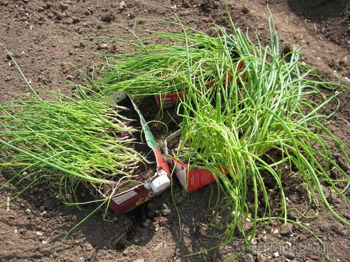 Посадка лука чернушки на рассаду семенами, правила выращивания в грунте