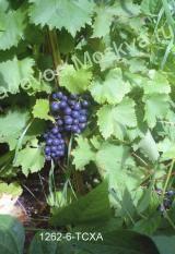 Виноградный сорт муромец — отличное решение для прохладного климата