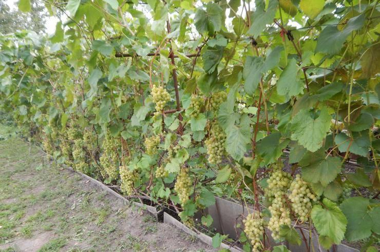 Виноград краса севера – выращивание в холодных регионах и средней полосе