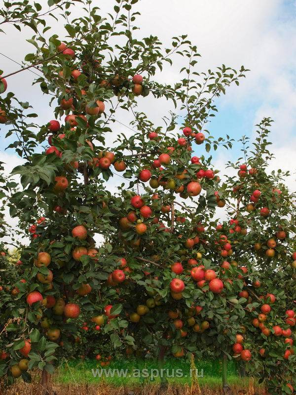 Характеристика сладкой зимней яблони хани крисп