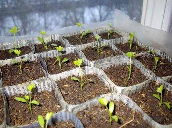 Как выращивать корневой сельдерей: пикировка рассады