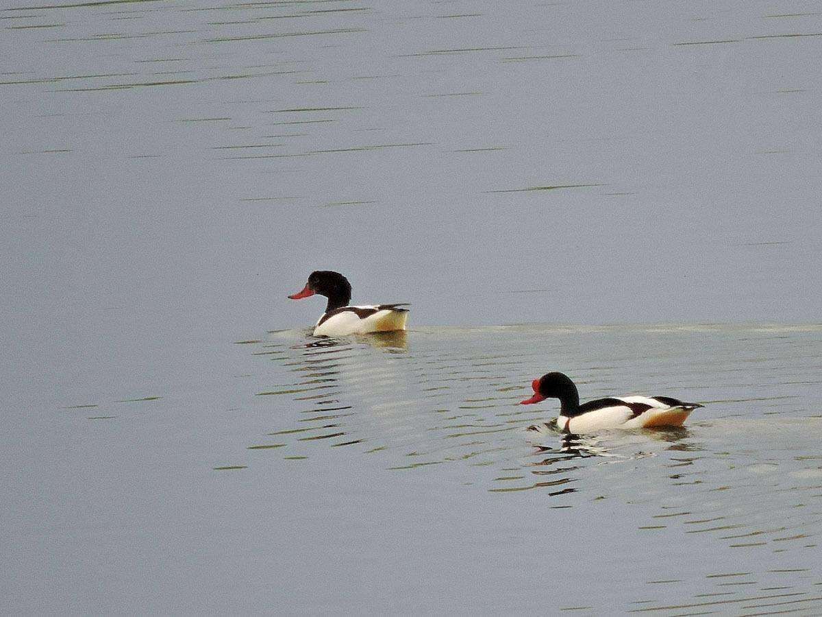Особенности породы пекинской утки и тонкости ее разведения на частных подворьях
