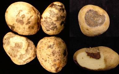 Заболевание картошки