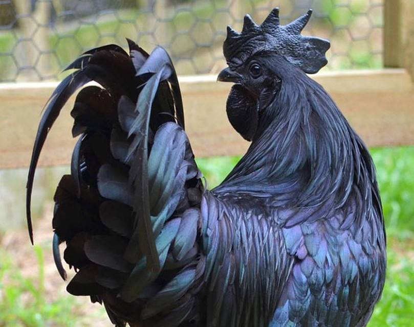 Сонник чёрная курица и чёрный петух. к чему снится чёрная курица и чёрный петух видеть во сне - сонник дома солнца