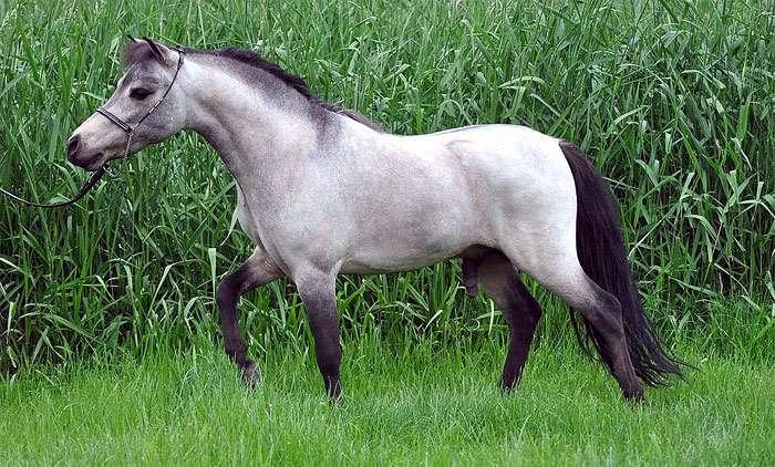 Мини-лошадь — википедия