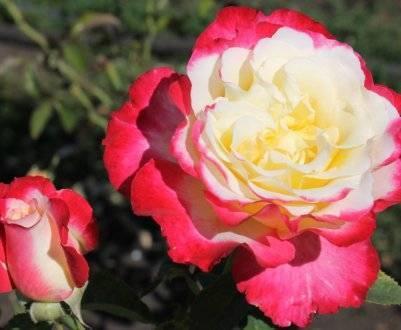 Не выбрасывайте букеты из роз! как посадить цветок, если он дал росток в вазе?