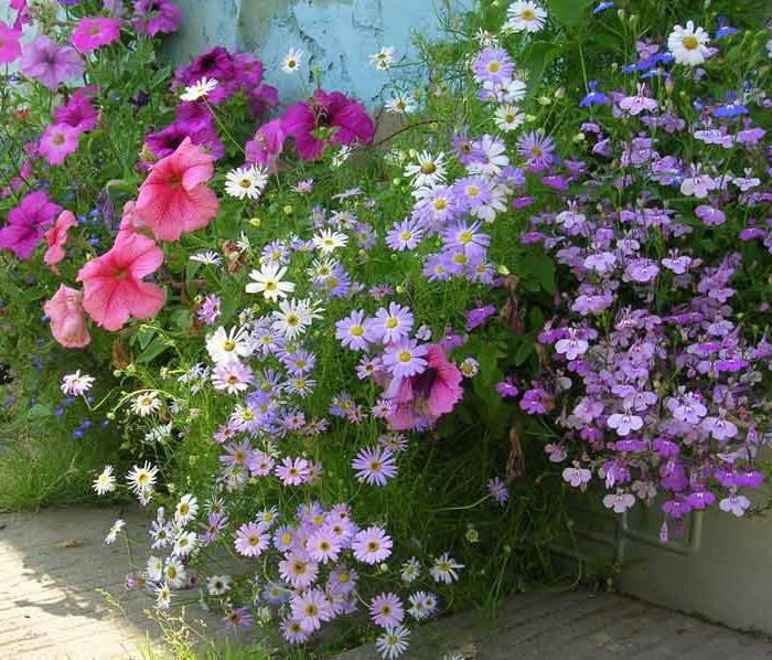 Брахикома: выращивание из семян, советы по ухаживанию