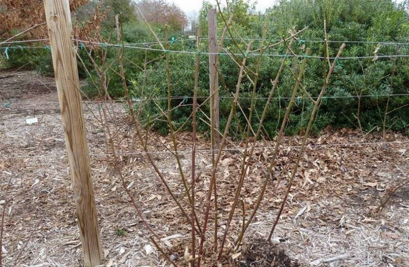 Ежевика: правильная посадка, обрезка и уход за садовым растением