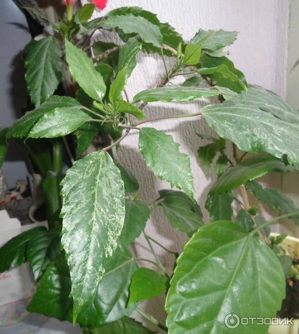 Гибискус махровый: описание комнатного цветка и фото красного, белого, желтого, розового, персикового сортов, а также особенности ухода в домашних условиях
