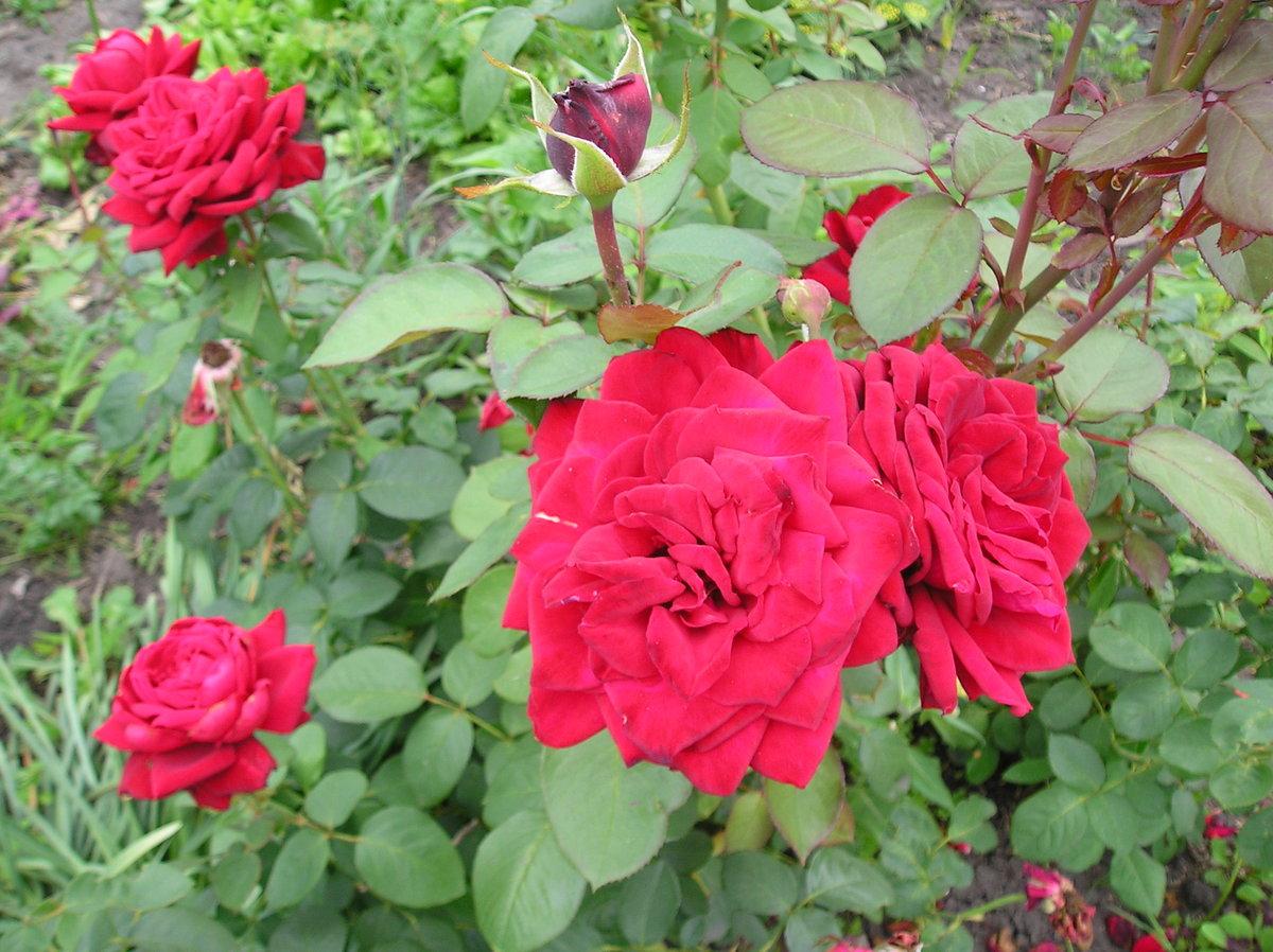 Чем подкормить розы в августе сентябре. уход за розами весной и летом