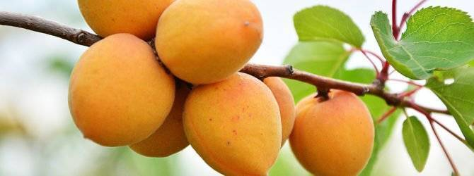Как вырастить абрикос из косточки - правила, которые сделают процесс успешным