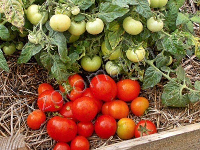 Томат пабло: описание, отзывы, фото, урожайность | tomatland.ru