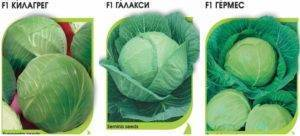 Лучшие сорта и гибриды поздней капусты для зимнего хранения и засолки