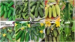 Обзор самоопыляемых огурцов: выбираем лучшие сорта, выращиваем в теплице и на грунте