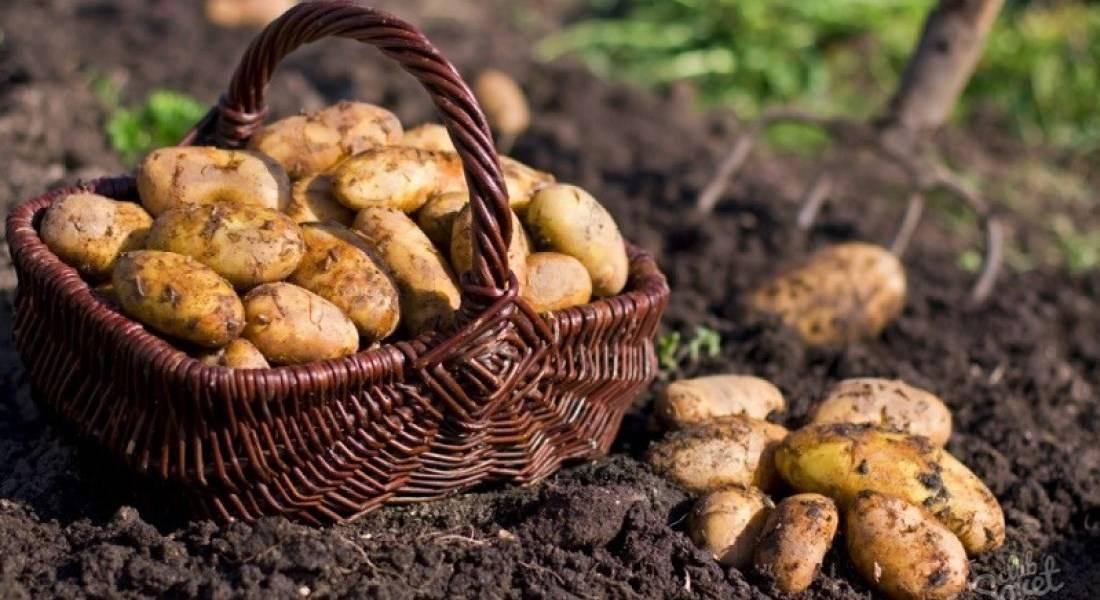 Выращивание картофеля как бизнес - инструкция пошагово!