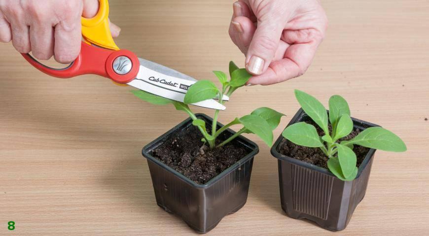 Посадка петунии в грунт рассадой – правила подготовки растения