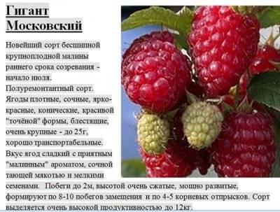 Малина гигант московский описание сорта