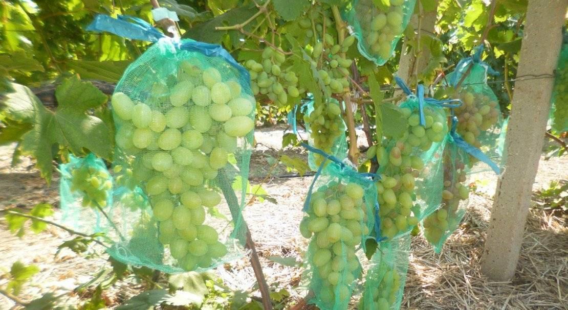 Винограда супер экстра особенности выращивания описание сорта