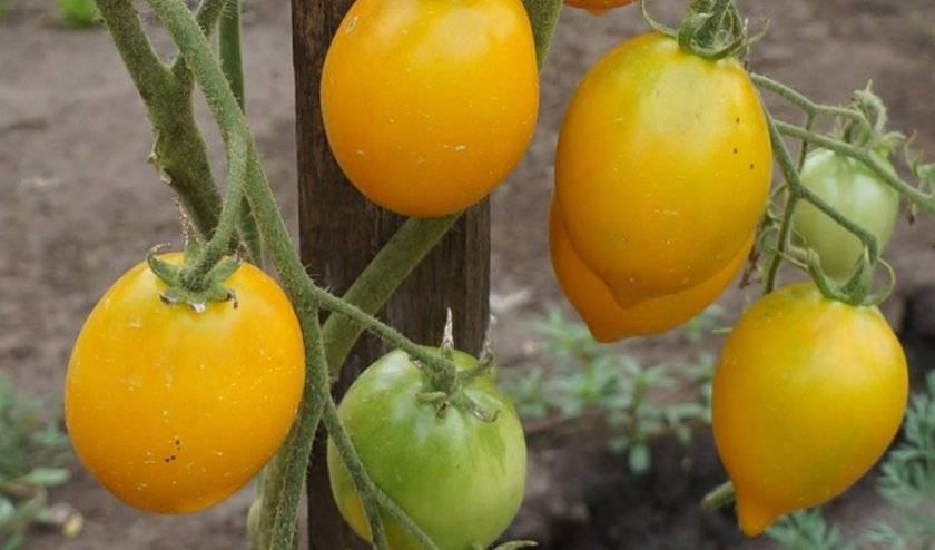 вспышки коронавируса томат аргентинское чудо описание сорта фото внимание