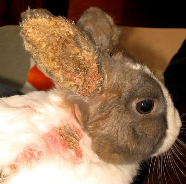 Как самостоятельно лечить ушного клеща у домашних кроликов?