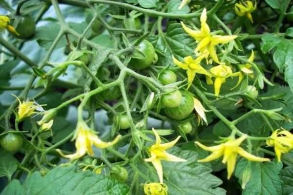 Узнайте, чем подкормить помидоры во время цветения, и урожай будет обильным!