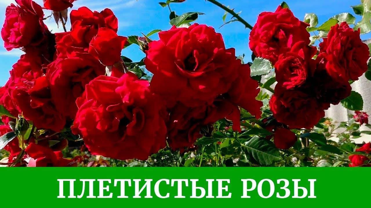 Плетистая роза «полька»: описание сорта, уход, отзывы + фото и видео