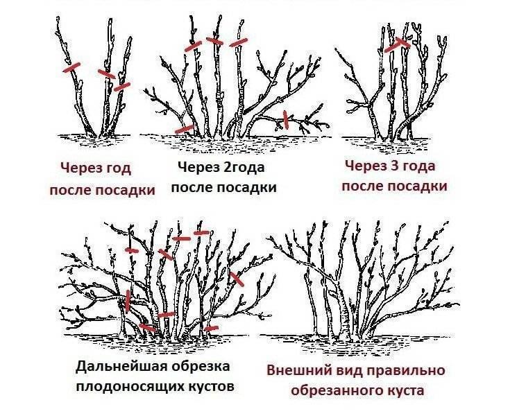 Схема обрезки декоративных кустарников осенью