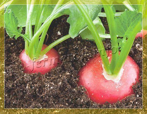 Все о редисе сора: история возникновения, особенности сорта, практические рекомендации по выращиванию