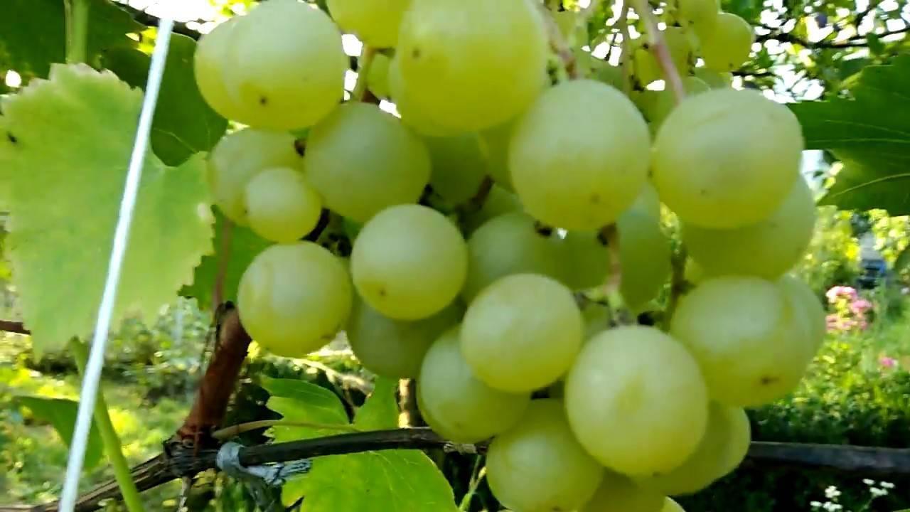 Отличная беседка и вкусный урожай — виноград — галбена ноу