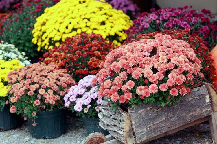 Несколько секретов как сохранить горшечные хризантемы до весны