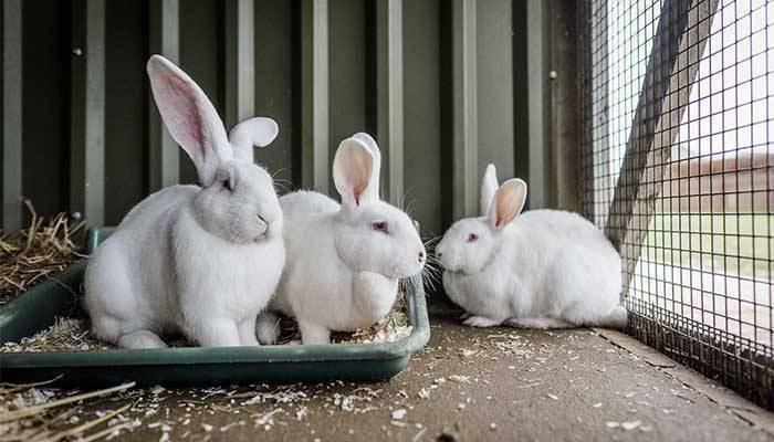 Все нюансы кастрации кроликов