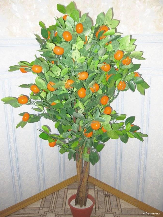 Как вырастить дерево мандарин из косточки в домашних условиях, фото плода