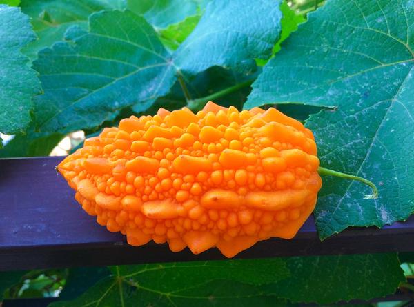 Описание и полезные свойства экзотического фрукта момордика
