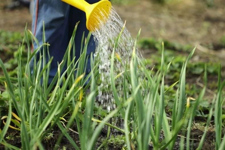 Как подкармливать чеснок нашатырем: пропорции для полива чеснока весной