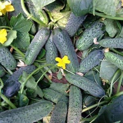 Преимущества и недостатки сорта огурцов хрустик f1