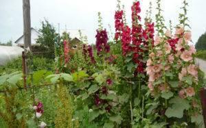 Шток роза – выращивание из семян в теплице круглый год