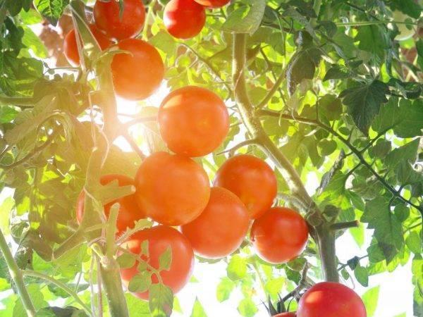 Грушевидные томаты. сорта с описанием и фото